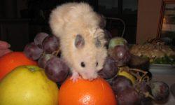 Какие овощи и фрукты можно давать хомякам
