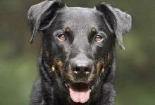 Босерон: все о собаке, фото, описание породы, характер, цена