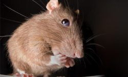 Поведение домашних декоративных крыс