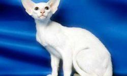 Форин вайт 🐈 фото кошки, история и описание породы, характер, уход