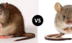 Чем отличается мышь от крысы (фото) - сравнительная таблица
