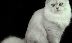 Длинношерстная бурмилла 🐈 фото, описание породы, характер, уход, стандарты