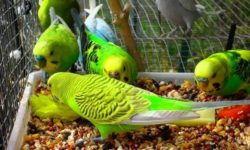 Что можно давать волнистым попугаям кроме корма