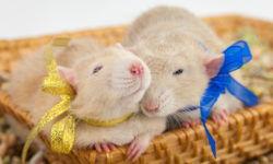 Имена для крыс девочек и мальчиков: как назвать грызуна (помощь в выборе клички)