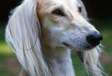 Салюки: все о собаке, фото, описание породы, характер, цена