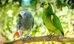 Как уживаются попугаи разных пород в одной квартире