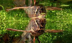 Рыба-бабочка: условия обитания пантодона в дикой природе, чем питается морской мотылек