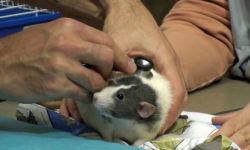 Пневмония у крысы: симптомы и лечение
