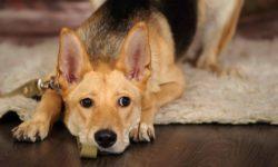 Мочекаменная болезнь у собак: симптомы и лечение камней в мочевом пузыре