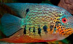 Цихлазома северум (рыбка ложный дискус): содержание, виды (красноточечный, красноплечий, жемчуг), совместимость
