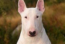 Бультерьер: все о собаке, фото, описание породы, характер, цена