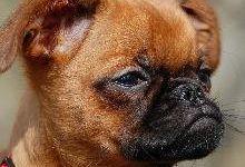 Пти-брабансон: все о собаке, фото, описание породы, характер, цена