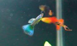 Болезни гуппи: красные жабры, плавают на поверхности, плавниковая гниль, хвост рваный или смотрит вверх/вниз, лежит на дне