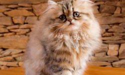Персидская кошка 🐈 фото, описание персов, характер, уход, стандарты, вес, окрас, история, кормление