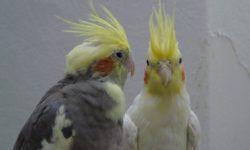 Попугай Корелла | Описание, питание, размножение, уход в домашних условиях