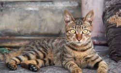 Леопардовая кошка - фото, описание породы