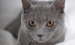 Картезианская кошка 🐈 фото шартреза, история и описание породы, характер, цена