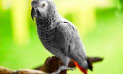 Как научить попугаев Жако разговаривать?
