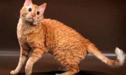 Уральский рекс 🐈 фото кошки, история и описание породы, характер, уход