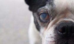 Катаракта у собак: лечение каплями и хирургическим путем