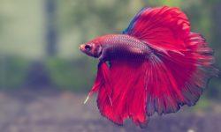 Рыбка петушок: как кормить сухим кормом, как часто вносить живые подкормки в аквариум