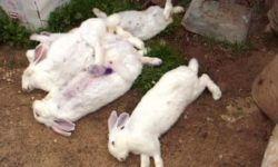 Прививки кроликам какие и когда делать, вакцина от миксоматоза и ВГБК инструкция