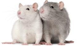 Как определить пол крысы: отличаем мальчика от девочки (фото)