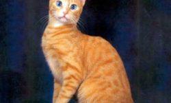 Охос азулес 🐈 фото кошки, история и описание породы, характер, уход