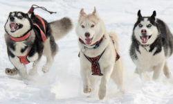 Характер и поведение Хаски: как собака относится к детям, животным, семье