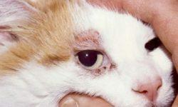 Подкожный клещ у кошек: причины и симптомы, лечение и профилактика