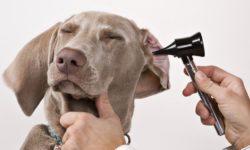 7 видов болезней ушей у собак: коричневые выделения, жидкость, коричневая грязь, что делать,