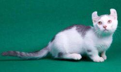 Кинкалоу: 🐈 фото кошки, описание породы, характер, уход и история