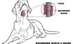 Гипотиреоз у собак: симптомы и лечение, диагностика, фото