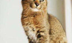 Каракет: 🐈 фото кошки, описание породы, характер, происхождение