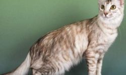 Длинношерстная ориентальная кошка 🐈 фото, описание породы, характер, уход, стандарты