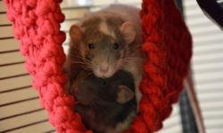 Как размножаются декоративные крысы: разведение и спаривание в домашних условиях