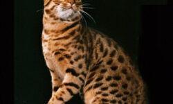 Оцикет: 🐈 фото кошки, цена, описание, характер породы