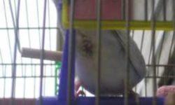 Запор у волнистого попугая: причины, симптомы, лечение