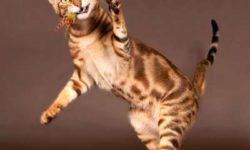 Сококе 🐈 фото кошки, история и описание породы, характер, уход