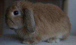 Декоративный кролик вислоухий
