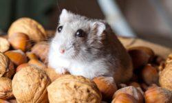 Можно ли хомякам кедровые и грецкие орехи, фундук и миндаль