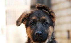 Клички для овчарок: имена для собак мальчиков и девочек немецкой, шотландской, кавказской, европейской породы, как назвать питомца?