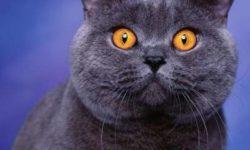 Британская короткошерстная кошка 🐈 фото, цена, описание породы, характер, особенности, стандарт,