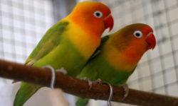 Попугаи неразлучники | Описание вида, кормление, уход