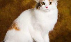 Американский кёрл 🐈 фото кошки, история и описание породы, характер, уход