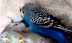 Судороги у попугаев: основные причины и лечение