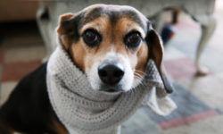 Аденовироз собак или аденовирусная инфекция: симптомы и лечение