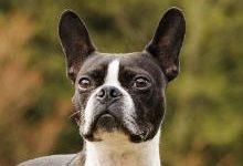 Бостон-терьер: все о собаке, фото, описание породы, характер, цена