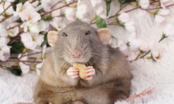 Тело крысы: особенности строения головы, морды, лап и зубов (фото)