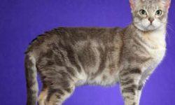 Австралийский мист 🐈 фото кошки, описание породы, характер, уход, стандарты